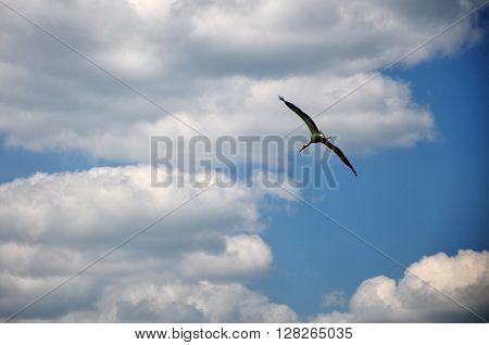 stork glaing in tht blue sky bird