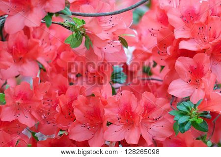 Beautiful blooming red azalea and green leaves