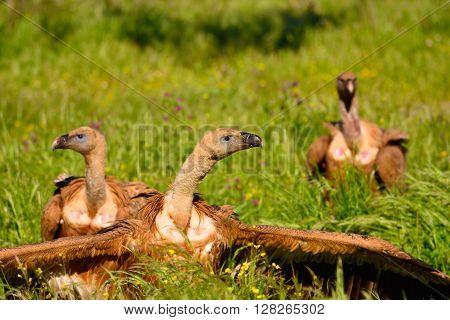 Three Eurasian Griffons On Grass