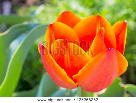 Tulip spring flower bouquet green white easter nature blossom fresh. ** Note: Soft Focus at 100%, best at smaller sizes