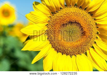 Sunflowers, Sunflowers blooming against a bright sky