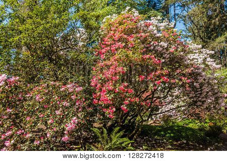 A view of multicolored Rhododendron blossoms in Spring.