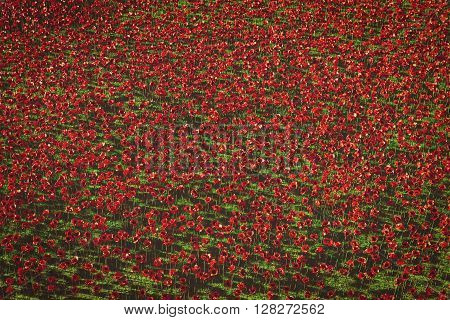 London, UK - 2014 November 12: Ceramic poppies installation for Remembrance Day to commemorate 100 years of the First World War at the Tower of London on 12 November 2014