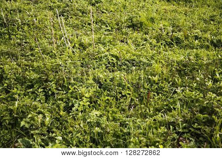 Grass And Ground Cover In A Field