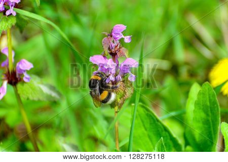 Bumblebee collects nectar from purple flower .
