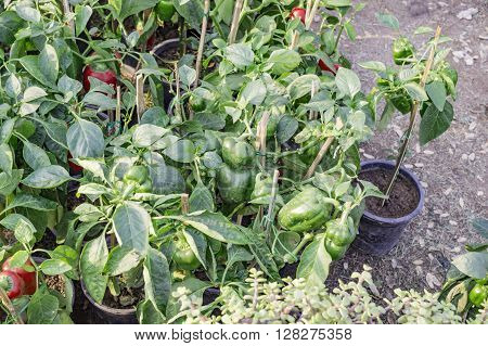 Red And Green Capsicum Plants