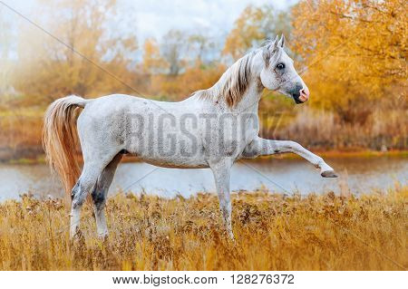 Beautiful Arabian stallion standing on the river bank in the autumn yellow background. The horse gracefully lifted front leg.