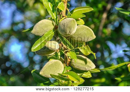 Almond Tree Branch With Green Nuts And Leaves.