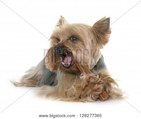 yorkshire terrier gnawing a bone in front of white background