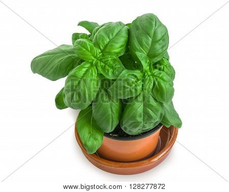 Flowerpot With Basil On White.