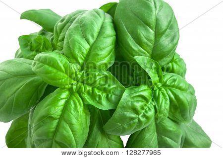 Mediterranean Diet. Fresh Basil On White Background.