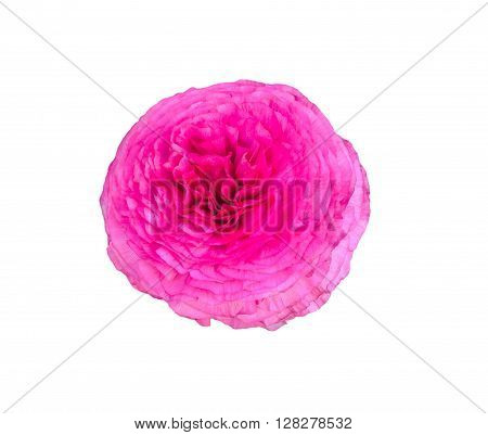 Pink Persian Buttercup Flower (ranunculus Asiaticus) On White.