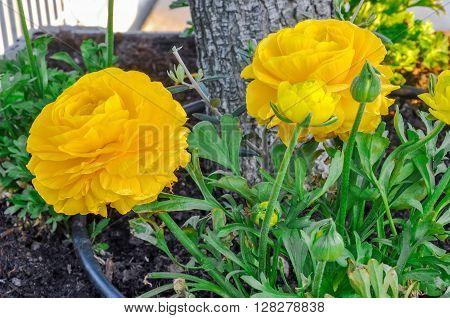 Yellow Persian Buttercup Flowers (ranunculus Asiaticus).
