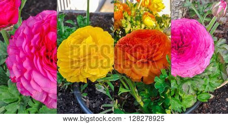 Colorful Persian Buttercup Flowers (ranunculus Asiaticus) Collection.