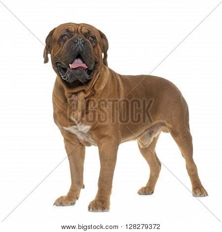 Bordeaux mastiff in front of white background