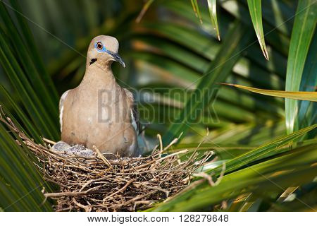 Dove In Nest With Babes