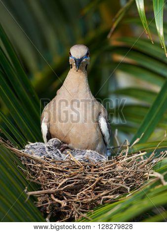 Dove Nest On Tree