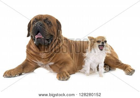 Bordeaux mastiff and chihuahua in front of white background