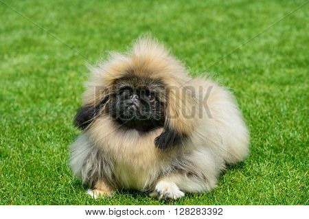 Pekingese dog standing on green field .