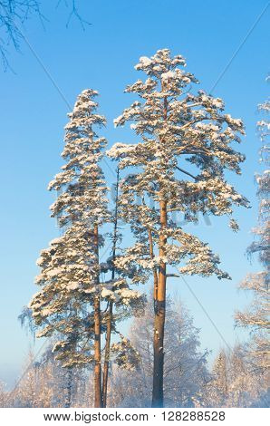 White Fairytale Cold Sunshine