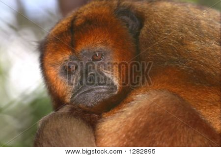 Female Black Howler Monkey