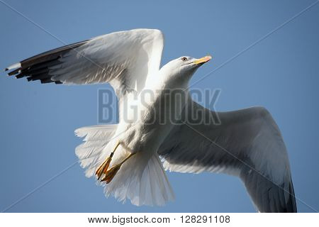 Seagull flying in beautiful sky.One flying in clear blue sky white seagull bird with big wings sunny day outdoor on natural background horizontal picture