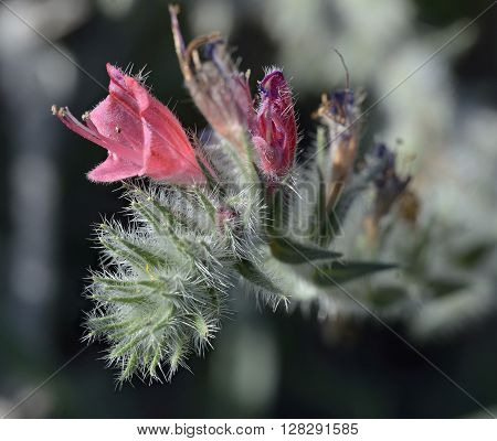 Narrow-leaved Bugloss - Echium angustifolium Wild Flower from Cyprus