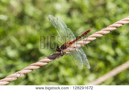 Sympetrum sanguineum, Ruddy darter dragonfly from Germany