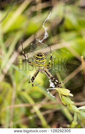 Wasp spider (Argiope bruennichi) from Lower Saxony, Germany