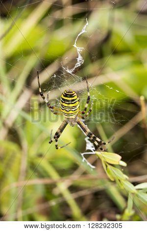 Wasp spider (Argiope bruennichi) from Lower Saxony, Germany