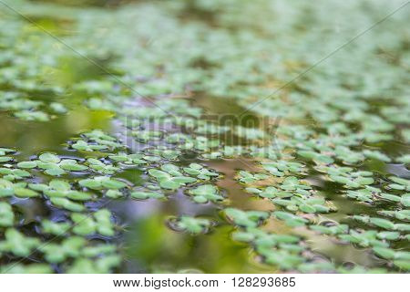 closeup the duckweed in water with reflection