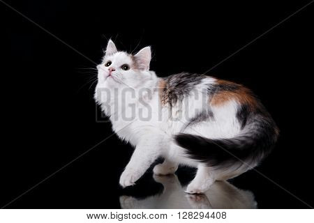 Young Three-colored Cat