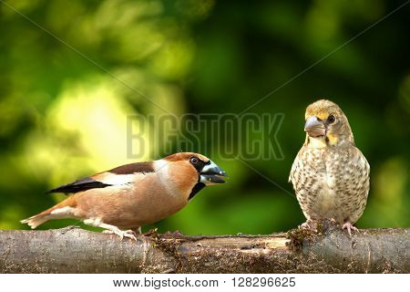 Two's Hawfinch (Coccothraustes coccothraustes) adult and chick sitting together on a branch in a beautiful spring sunny day. Shallow depth of field and background with green leaves of bushes. Horizontal view.