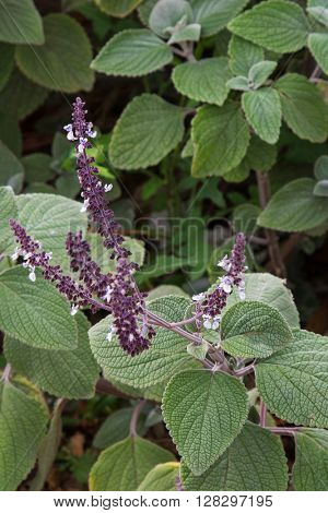 Closeup of Salvia Perennial Sage sage flowers in dark purple shade with green hairy leaves in the garden