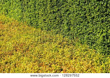 Texture Of Color Shrub Leafs