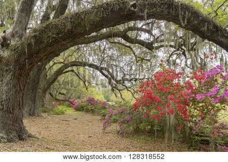 On a plantation in the South Carolina lowcountry, near Charleston, South Carolina, colorful azalea bushes bloom among a row of live oaks with Spanish moss hanging from the branches.