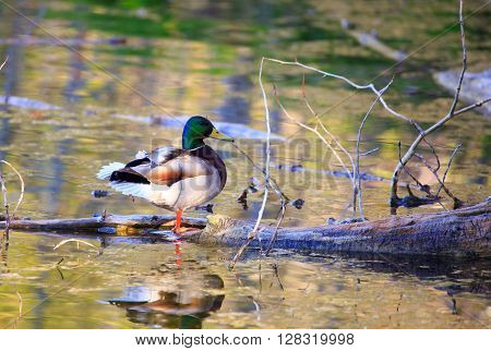 A mallard duck standing on log that's in a pond.