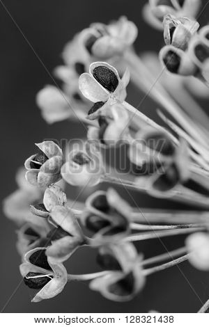 Garlic chive seed pods, in closeup, black and white version