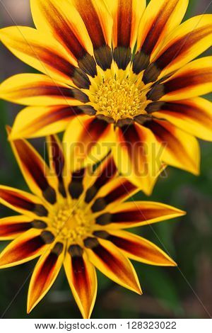 Bright yellow and red-brown Gazania flowers, in closeup