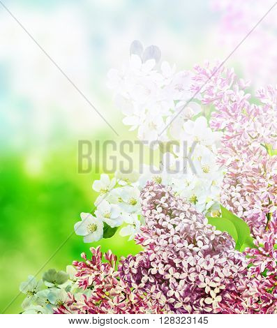blooming apple tree. lilac. branch delicate flowers of lilac