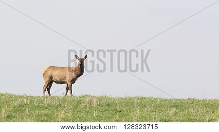 Elk cow in the spring at sunset