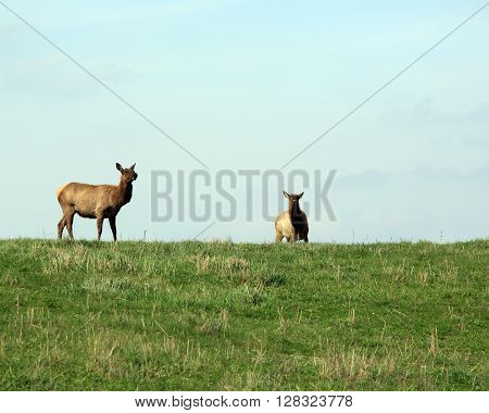 Elk cow with her calf in the spring