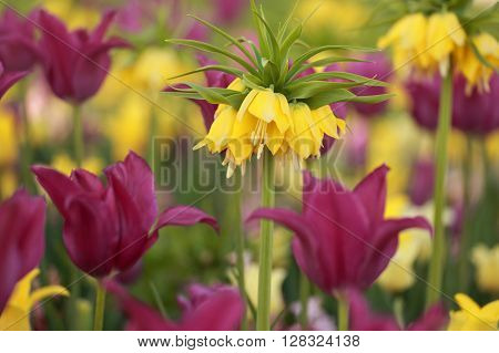 Yellow crown imperial tulips in a bed with purple tulips