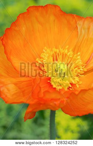 A bright orange Iceland Poppy flower, in closeup, showing the bright yellow stamens