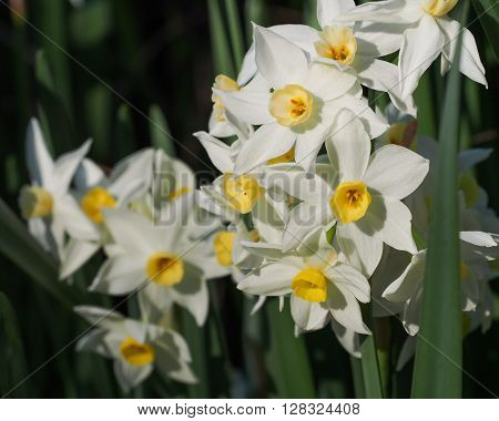 A group of bright white and yellow Jonquil flowers