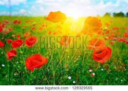 Bright sunrise in poppy field