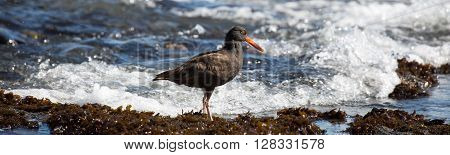 Black Oystercatcher (Haematopus bachmani) foraging on a rocky shoreline. ** Note: Soft Focus at 100%, best at smaller sizes
