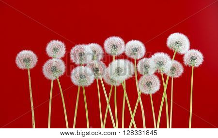 dandelion flower on red color background, many closeup object