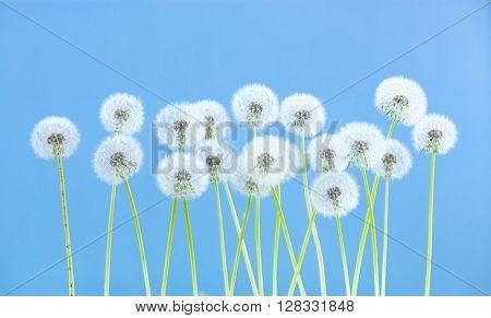dandelion flower on blue color background, many closeup object
