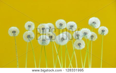 dandelion flower on yellow color background, many closeup object